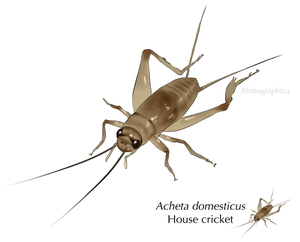 House Cricket by Alithographica