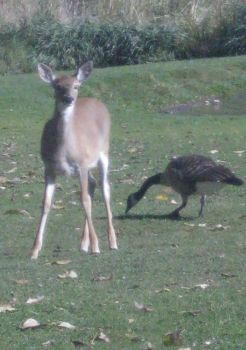 Deer And Goose by AHumrich92