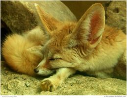 Fennec Fox by In-the-picture