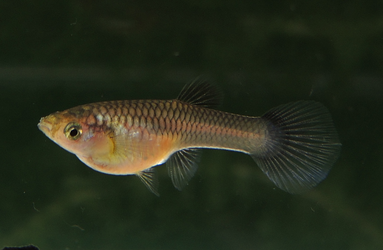 Moscow Pink Female Guppy by LaGaDesk