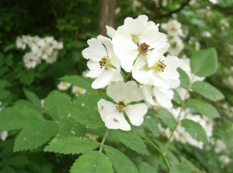 Wild White Roses by SacredJourneyDesigns