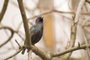 Starling male by Dunadan-from-Bag-End