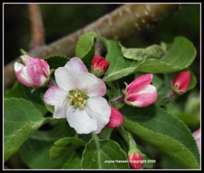 NORTHLANDS APPLE BLOSSOM TIME by Kittihawk11