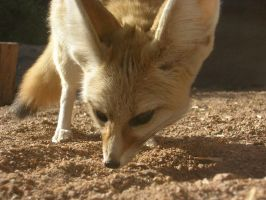 Fennec up close by scottVee