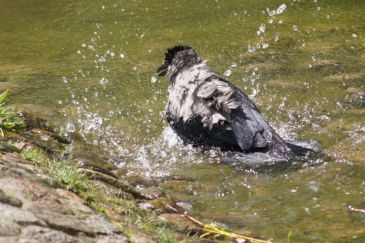 Crow during bath. by freyaless