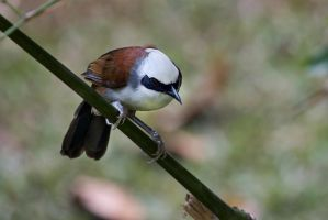 White-Crested Laughing Thrush by TomFawls