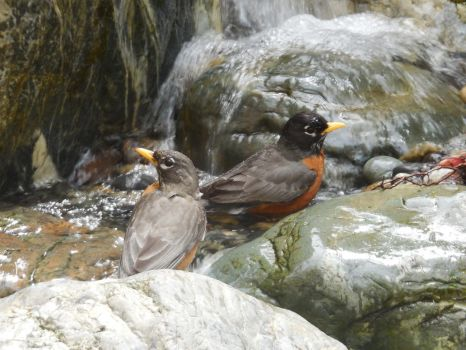Robins Bathing by Dogman15
