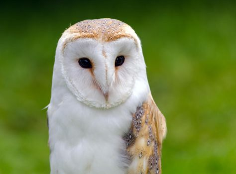 Barn Owl 1 by do7slash