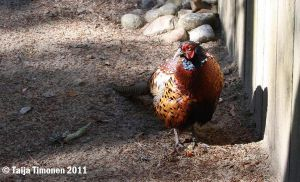 Pheasant by casualGEE
