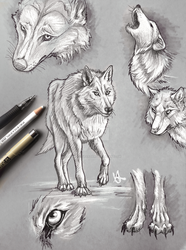 Direwolf sketches by Slightly-Spartan