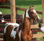 Saddlebred 61 by FantasyDesignStock