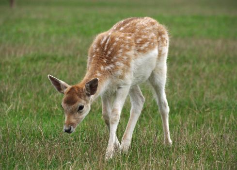 Young Fallow Deer Stock by FurLined