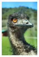 Emu by YellowEleven