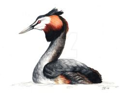 Great Crested Grebe (bird #1). by JacobKihlgren