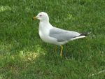 Seagull by MindlessAngel