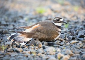 Killdeer lll by deseonocturno