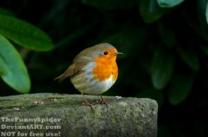 European Robin - Erithacus rubecula on old grave by TheFunnySpider
