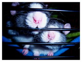 my rats by mrs-jackson