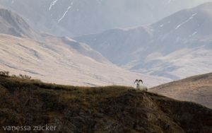 Dall Sheep on the Cliff by nessa