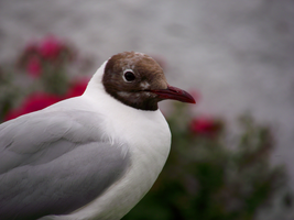 Black-headed gull by DanaVarahi
