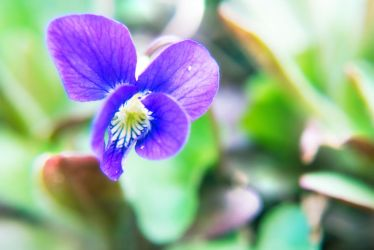 Viola sp. by Norble