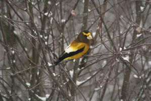 Coccothraustes vespertinus by ringette-and-riding