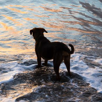 Water Dog by Shastro