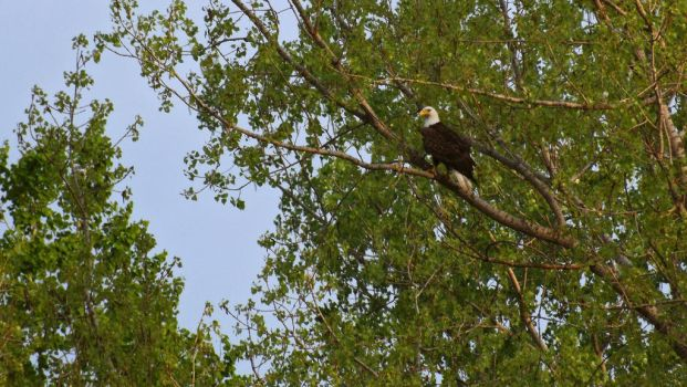 Bald Eagle by Overclock45