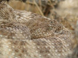 Crotalus mitchellii by InfinityandOne