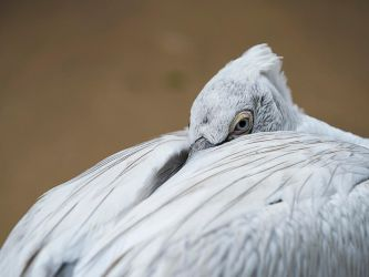 Pelican Eye by InayatShah