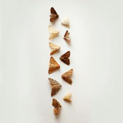 zigzag moths by all17