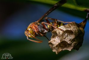 Angry Wasp by Anrico