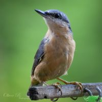 Portrait of a Nuthatch by OliverBPhotography
