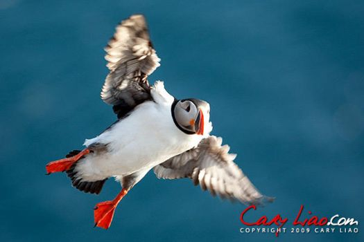 Atlantic Puffin in Iceland 3 by soak2179