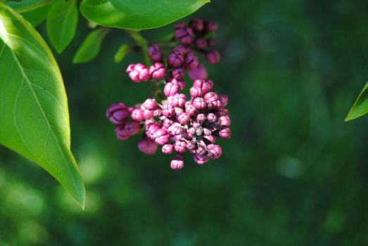 2012-04-24 Lilac Blossoms by charliemarlowe