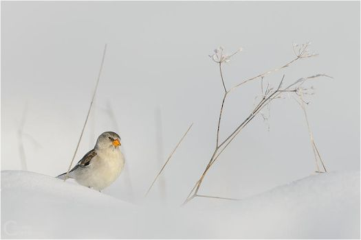 White-winged snowfinch by ClaudeG
