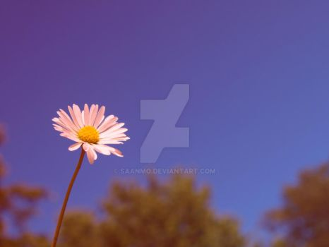 daisy by Saanmo