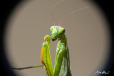 praying mantis by albuemil
