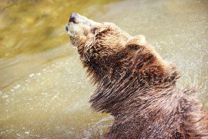grizzly bear by graphynu