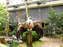 Griffon Vulture - Wings Stock by xCrystals