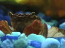 Face Time The Red Clawed Crab by AirTyler