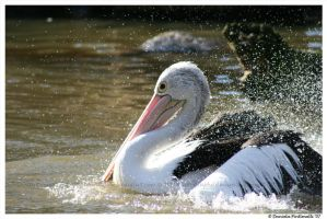 Bathing Pelican by TVD-Photography