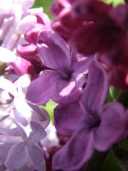 Spring Lilacs by thecraftinista