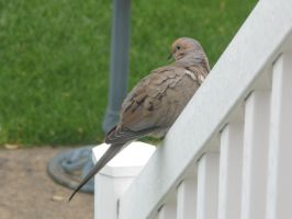 Mourning dove by avator