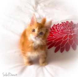 Maine coon baby by Soleildenuit50