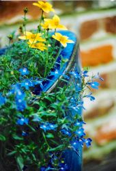 Potted blue by Camera-wielding-fool