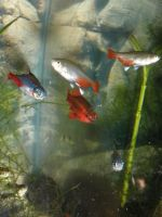 Tetras and cherry barb by symbion-pandora