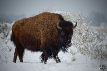 Bison In Fresh Snow by kkart