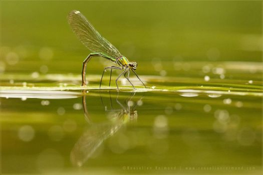 Demoiselle Reflections by thrumyeye
