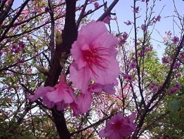 Cherry Blossons by HweiChow